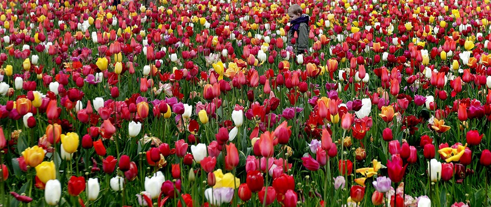 Маленький мальчик ходит по тюльпановому полю в Берендрехте, Бельгия. В честь Года тюльпана во Фландрии и Голландии любой желающий мог приехать в Берендрехт и нарвать себе тюльпановый букет бесплатно. (Virginia Mayo/Associated Press)