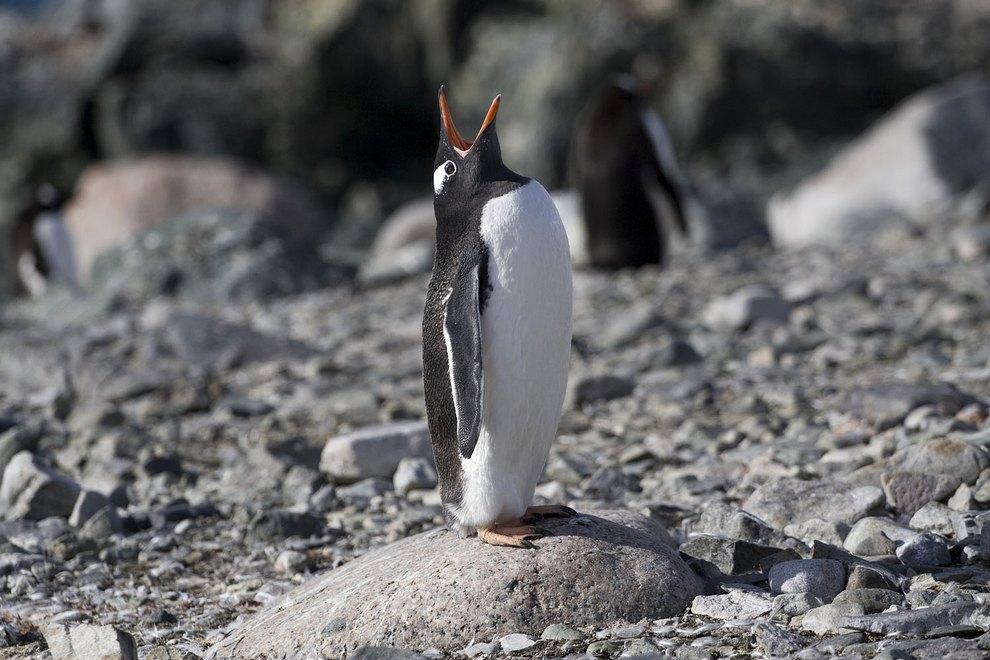 Папуанский пингвин (Pygoscelis papua) прочищает горло. Эти пингвины являются самыми быстрыми в воде — их скорость может достигать 36 км/ч. (Andrzej Bilski)