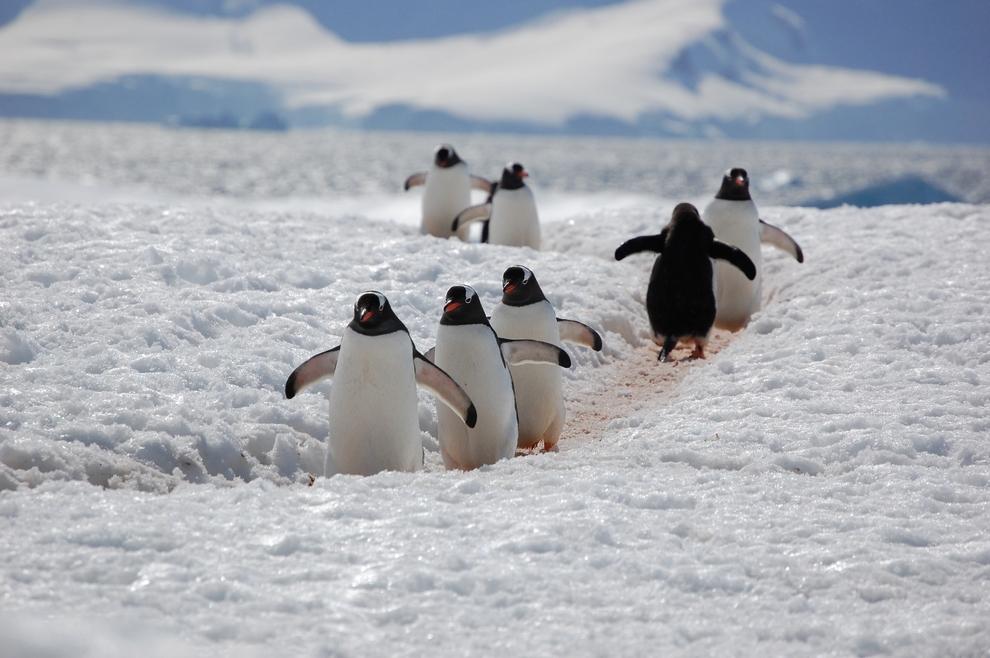 Папуанские пингвины на проезжей части. Авария неминуема... Кстати, именно эти пингвины наряду с Джимом Керри исполняли главную роль в фильме «Пингвины мистера Поппера». (Lt. Elizabeth Crapo/NOAA)