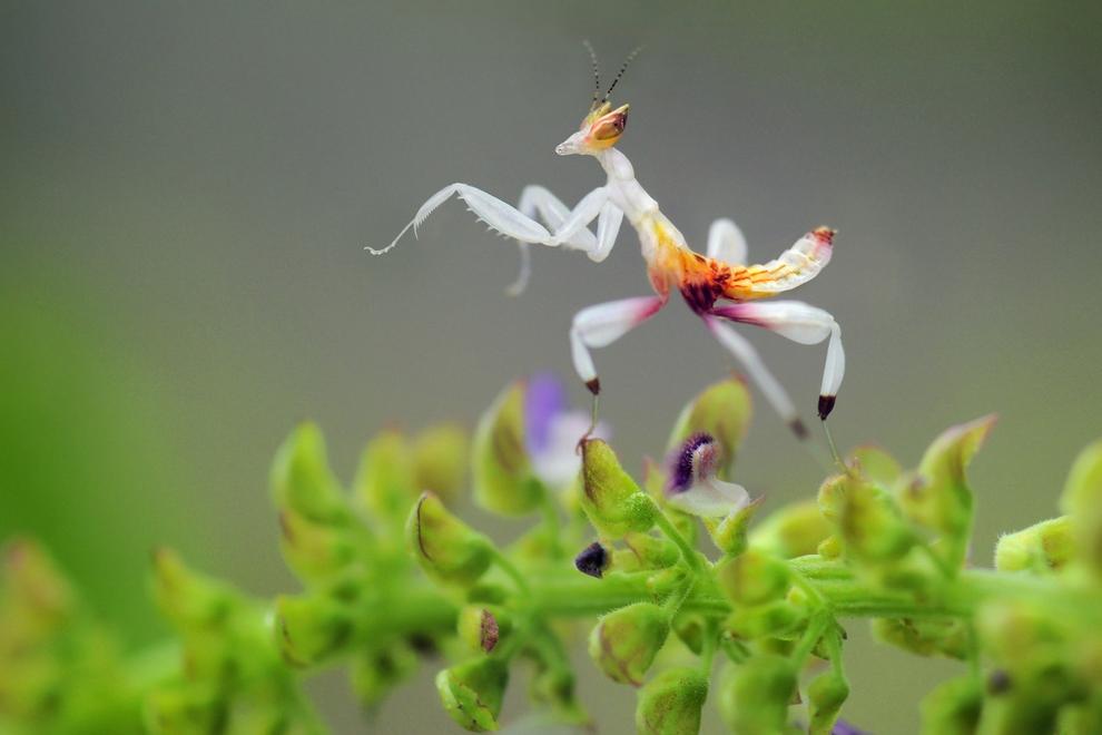 Орхидейный богомол (Hymenopus coronatus) — вероятно, одно из самых красивых насекомых на Земле. Водится в Малайзии, Индонезии и других странах региона. Такие богомолы — настоящие хищники, могут съесть даже мелкую ящерицу. © Sam Lim