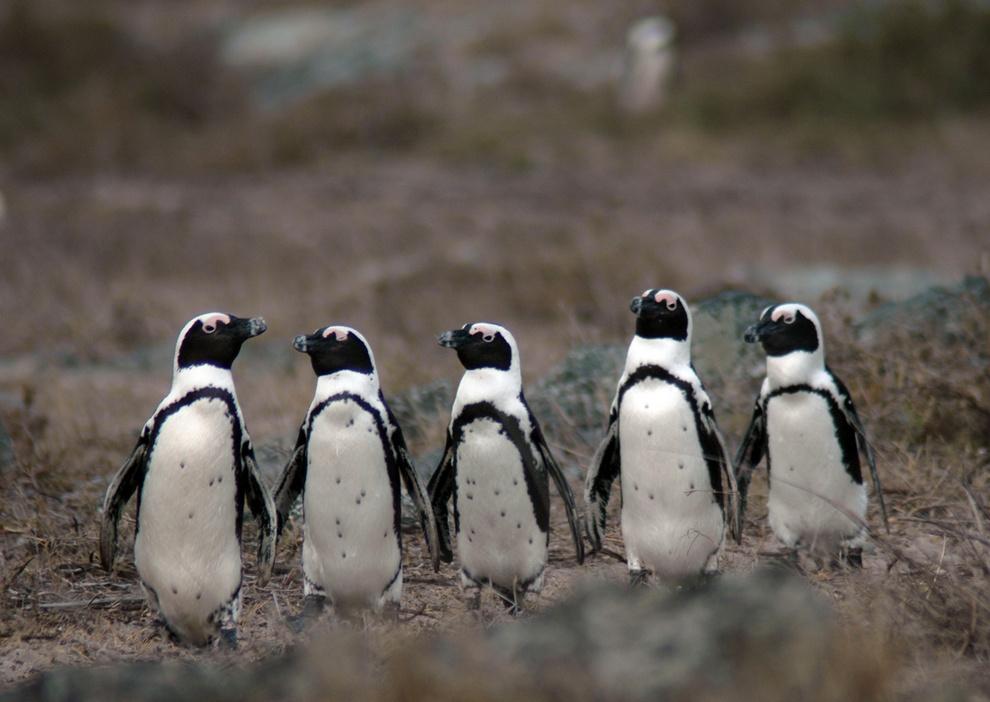 Стенка на стенку. Очковые пингвины выясняют степень угрозы. (Todd Steiner)