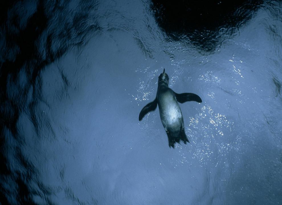 Галапагосский пингвин (Spheniscus mendiculus). Уникален среди остальных пингвиновых тем, что ареал — не антарктические и субантарктические районы, даже не умеренные, а располагающиеся всего в нескольких десятках километров от экватора Галапагосские острова. В мире их осталось не более 2 тыс. (David Doubilet/National Geographic)
