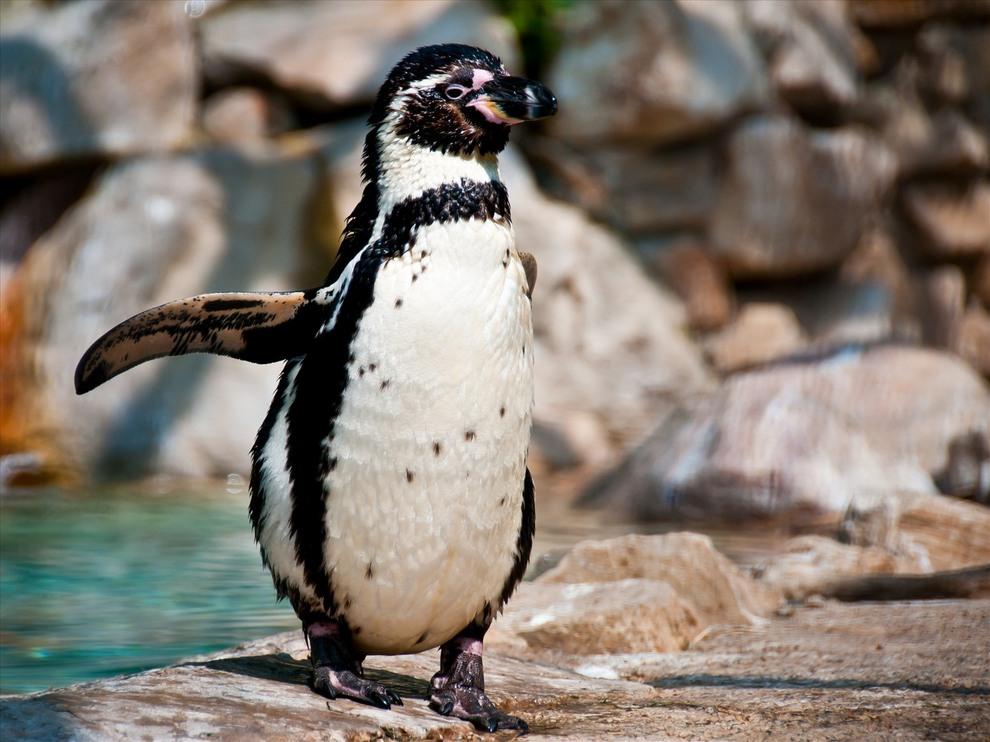 Пингвин Гумбольдта (Spheniscus humboldti). Гнездится на каменистых побережьях Чили и Перу, там где проходит холодное Перуанское течение. (Michele Bighignoli)