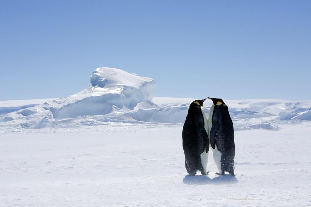 Императорский пингвин (Aptenodytes forsteri). Это самый крупный и самый морозоустойчивый вид из всех современных пингвинов. Императорские пингвины начинают размножаться зимой, когда в местах их обитания температура опускается ниже −40°C, а ветер дует со скоростью до 200 км/ч.(Sheri Mandel)