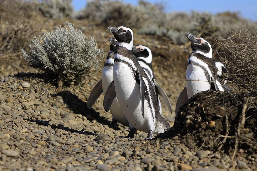 Магелланов пингвин (Spheniscus magellanicus). Основной ареал гнездования — патагонское побережье, Огненная Земля, островах Хуан-Фернандес и Фолкленды. Отдельные особи были замечены на север, вплоть до Рио-де-Жанейро и юга Перу. В Средние Века употреблялсяв пищуиндейцами и европейскими мореплавателями. (Martin St-Amant)