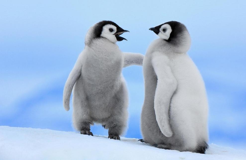 Птенцы императорского пингвина о чем-то спорят. Несмотря на удаленность ареала и свои размеры, у императорского пингвина много естественных врагов. Частенько случается, что птенчики становятся добычей поморников или гигантского буревестника. Именно от последнего исходит наибольшая опасность — он является причиной гибели до трети птенцов императорского пингвина. Для взрослой особи наибольшую угрозу несут касатки и морские леопарды.(Lt. Elizabeth Crapo/NOAA)