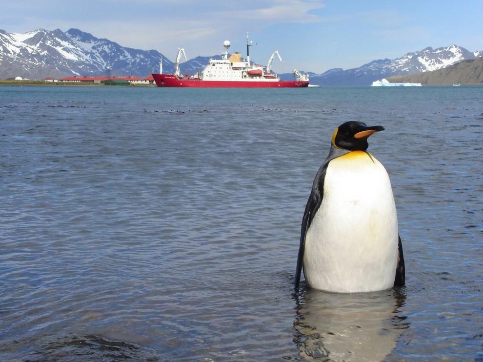 Королевский пингвин (Aptenodytes patagonicus) позирует на фоне ледохода. Сэр Нильс Улаф (один из королевских пингвинов) —полковник и талисман норвежской королевской гвардии. (Johnny/AMTP)