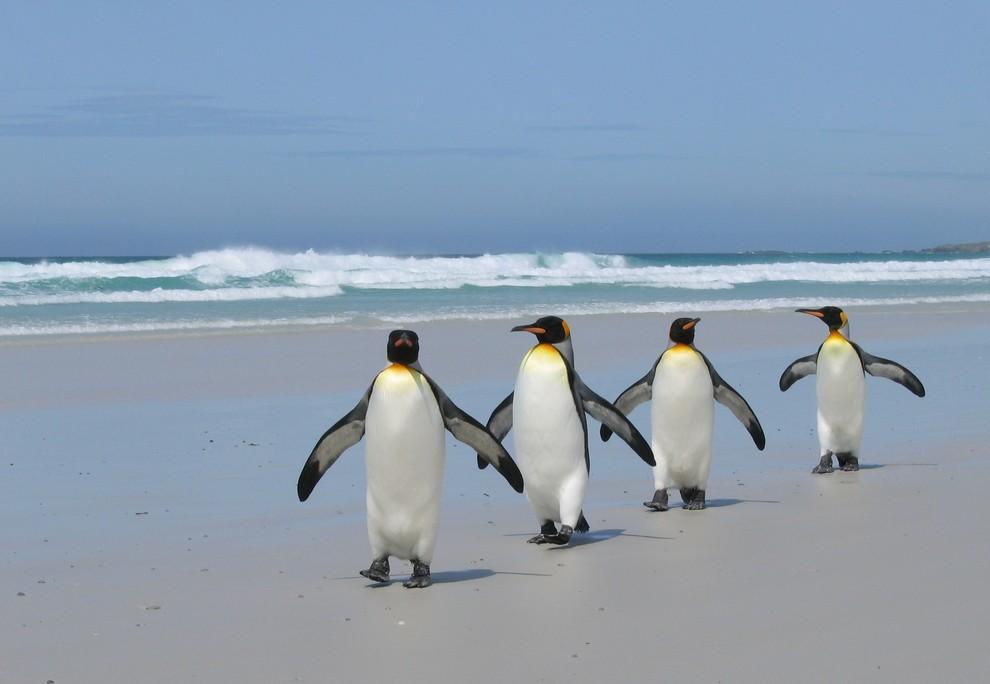 Королевские пингвины маршируют по набережной. Когда самка королевского пингвина делает свой выбор в пользу определенного самца, начинается красивый танец. Пингвины то задирают головы в небо и при этом кричат, то роняют их, словно в бессилии. Птицы нежно касаются друг друга клювами и кладут свои головы на плечи партнёру и со стороны выглядит, будто они обнимаются. Когда танец заканчивается, самка ложится на землю, принимая приглашающую позу. (Joan Koele)