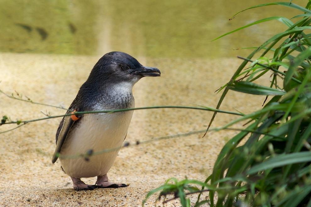 Малый пингвин (Eudyptula minor) — самый мелкий из пингвиновых. Длина тела колеблется в пределах от 30 до 40 см, вес —в районе 1 кг. (Aaron Jacobs)