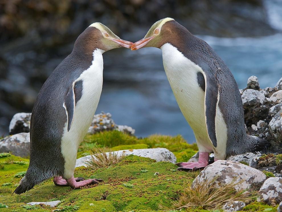 Великолепный пингвин (Megadyptes antipodes), теплолюбивый житель умеренных широт с желтой головой. Данный вид пингвинов один из самых редких среди пингвиновых: численность, несмотря на большой ареал, оценивается в чуть более 4 тыс. особей. Великолепный пингвин хорошо плавает и ныряет, но опасность в море ему представляют морские львы и акулы. Ещё большую угрозу — несвойственные для его мест и завезенные человеком животные: крысы, свиньи и др. (Robert Cave)