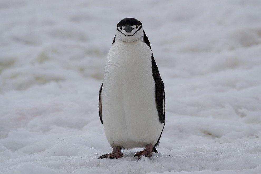 Одинокий Антарктический пингвин (Pygoscelis antarctica). Разве можно такого милаху пропустить? (Andrzej Bilski)