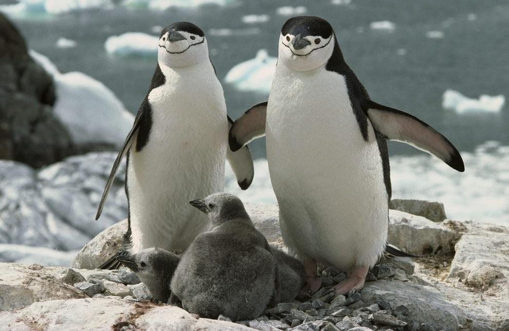 Антарктический пингвин — примерный семьянин. Но иногда природная программа дает сбои: всемирно известные своим гомосексуальным поведением пингвины Рой и Сайлоу из Зоопарка Центрального парка Нью-Йорка относились именно к роду антарктических пингвинов.(Lt. Elizabeth Crapo/NOAA)