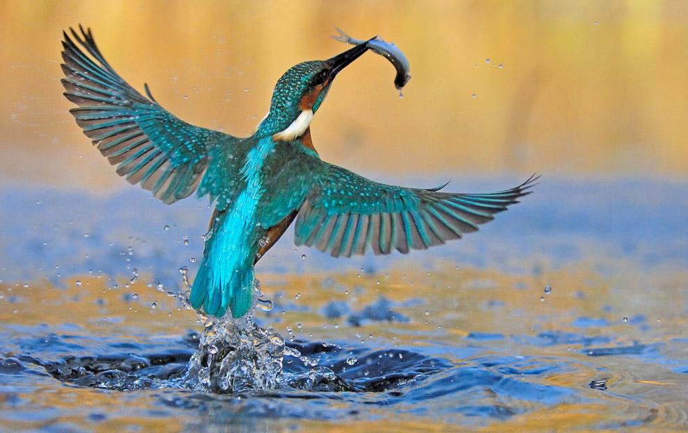 Ловкий зимородок добыл себе завтрак. В сутки такая птица съедает от 10 до 12 таких вот рыбешек.
