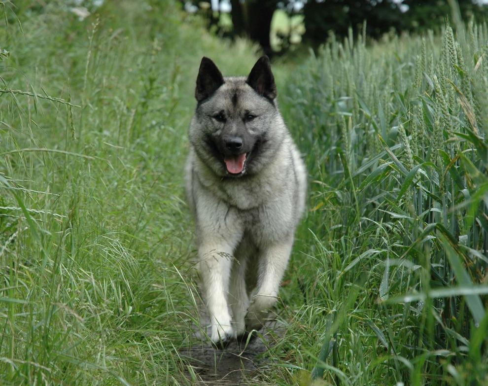 Топ-10 самых редких и исчезающих пород собак (10 фото)