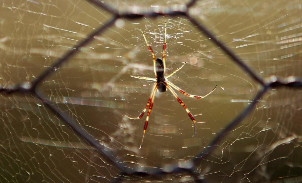 Нашествие пауков в восточной Австралии (10 фото)