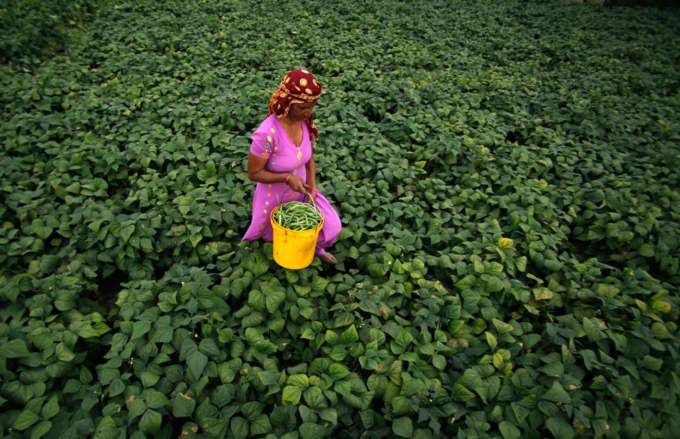 Индийская крестьянка собирает бобы в поле на окраине Джамму, Индия. (Channi Anand/Associated Press)