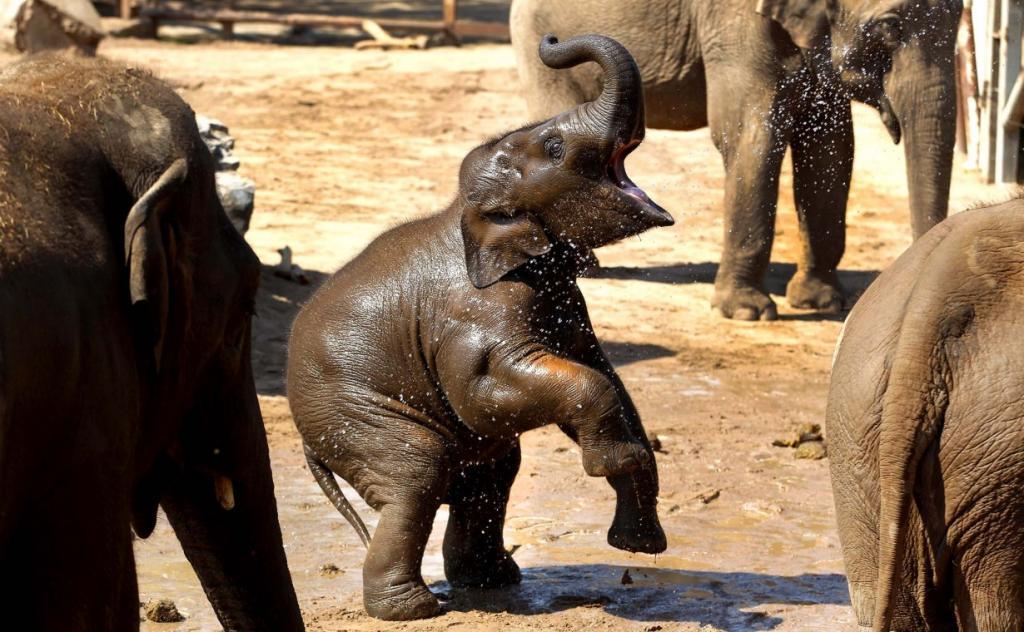Азиатский слоник по кличке Наян в Зоопарке Честер, Англия. (Dave Thompson/PA)