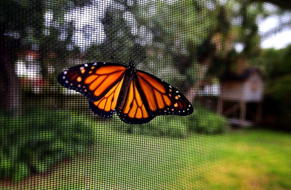 История одной бабочки (20 фото)