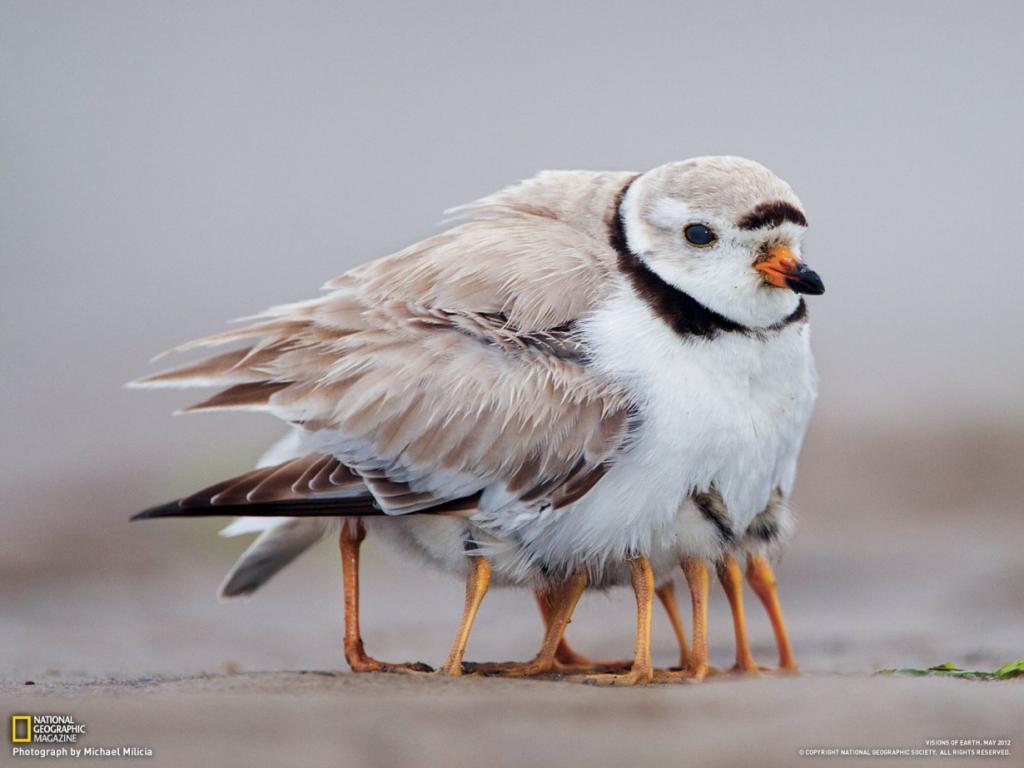 Это не птичка-многоножка, это заботливая мать и ее детеныш, остров Плам, Массачусетс, США. Не смотря на то, что птенец желтоногого зуйка уже может сам добывать себе пропитание, ему все еще нужно тепло. (Michael Milicia/National Geographic)
