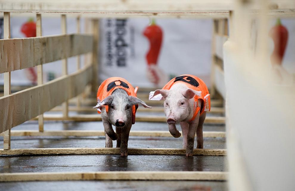 В Екатеринбурге в субботу прошли поросячьи бега, организованные представителями Федерации спортивного свиноводства. В забеге участвовало в общей сложности шесть трехмесячных поросят, наряженных в яркую форму с номерами. (Павел Лисицын/РИА Новости)