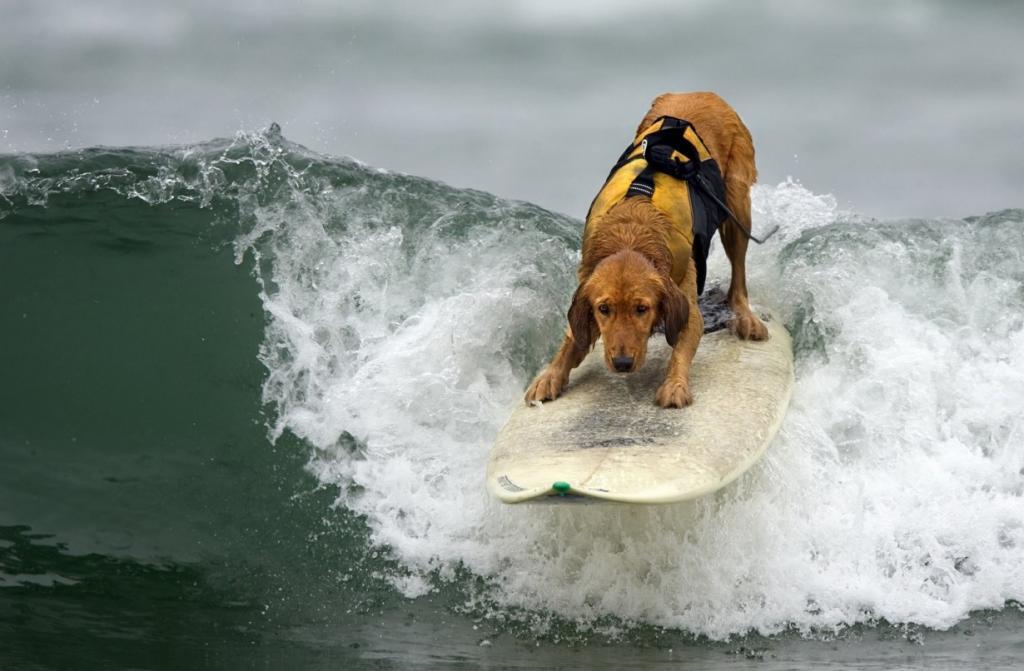 Турнир по серфингу среди собак состоялся в Калифорнии