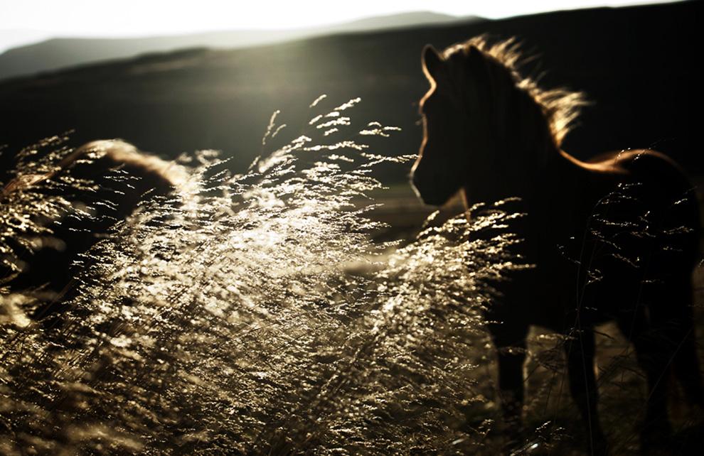 Фотопроект Herd in Iceland (17 фото)