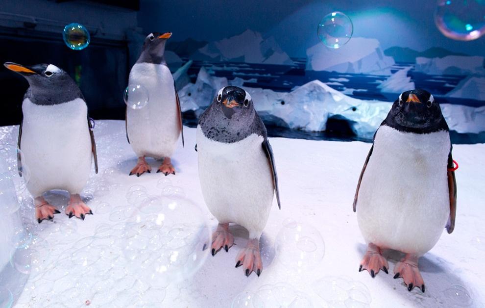 Вечеринка пингвинов в Лондонском морском аквариуме. (AP Photo/Jonathan Short)