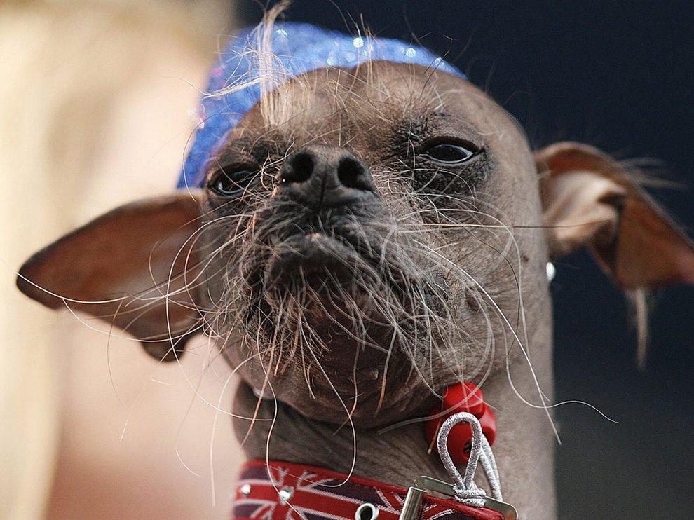 Ежегодный конкурс «Самая уродливая собака в мире 2012» (15 фото)