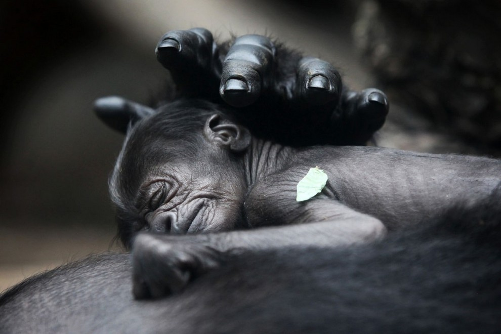 Детеныш гориллы, которому всего 3 дня от роду спит на груди у своей матери в Франкфуртском зоопарке, Германия, 13 июля 2012 года. (Fredrik von Erichsen/AFP/GettyImages)