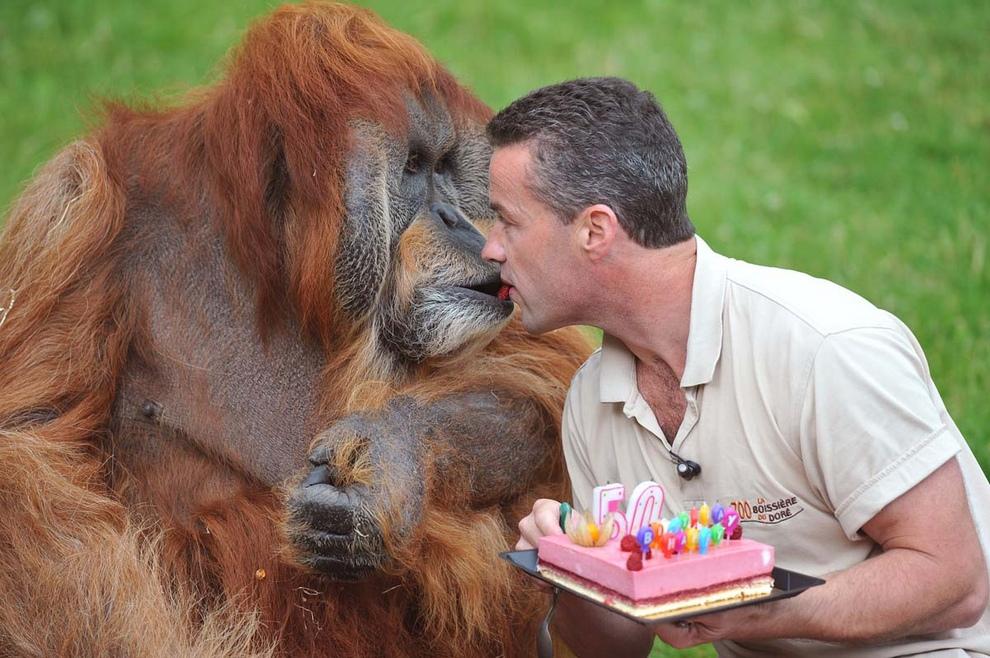Менеджер зоопарка Себастьян Лоран передает кусочек именниного торта Майору — старейшему орангутану на Земле, которому исполнилось 50 лет. Зоопарк Ла Буассьер-дю-Доре недалеко от Нанта, Франция. (Alain Jocard/Getty Images)