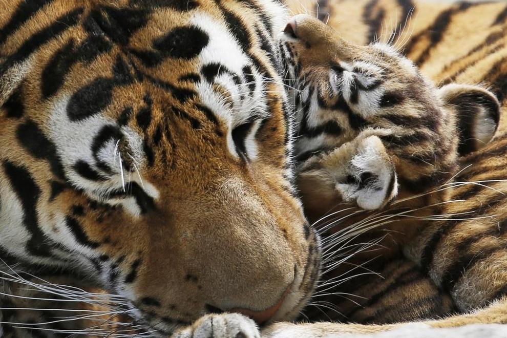 3-месячный тигренок прижимается к своей матери