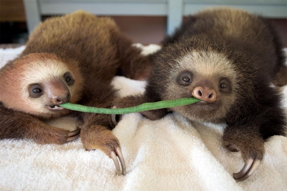 Костариканская обитель ленивцев. (Suzi Eszterhas/Minden Pictures)