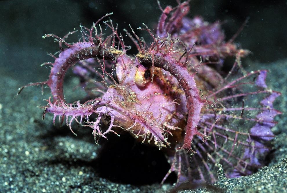 Скорпена Амбона (англ. Ambon scorpionfish, лат. Pteroidichthys amboinensis). Легко опознаваемая рыба по огромным «бровям» — специфическим наростам над глазами. Умеет менять цвет и линять. Охотиться, маскируясь на дне и поджидая жертву. Живет в водах Индийского океана. Не является редкостью, но экстравагантная внешность просто очаровывает. (Roger Steene/Conservation International)