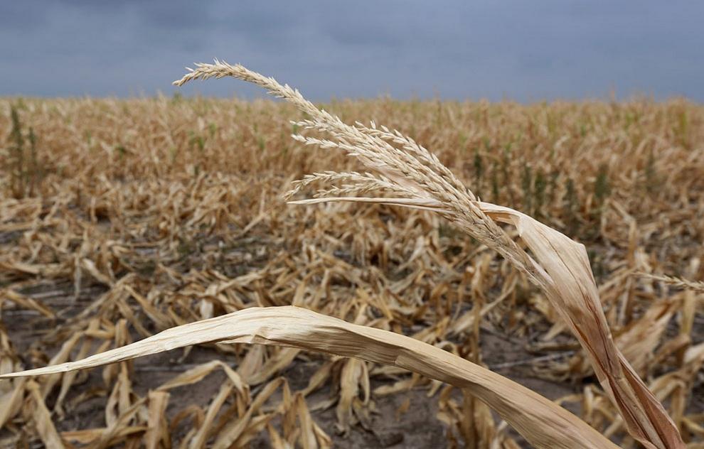Засуха ударила по планам Новосибирской области на урожай