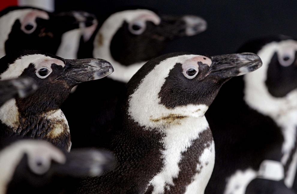 Пострадавшие от нефти протекающего балкера «Сели 1» очковые пингвины ютятся друг к другу в Южноафриканском Фонде по сохранению прибрежных птиц. Их нашли на острове Роббенэйланд близ Кейптауна, Южная Африка. Птиц очистят и отпустят на волю. (AP Photo/Schalk van Zuydam)