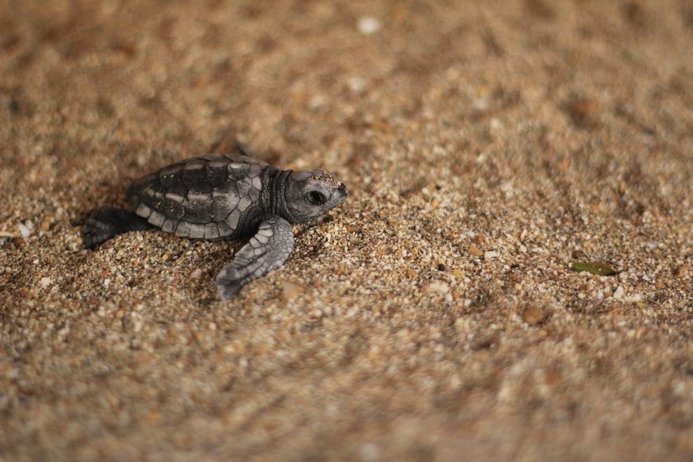 Сохранение популяции оливковых черепах на острове Бали (7 фото)