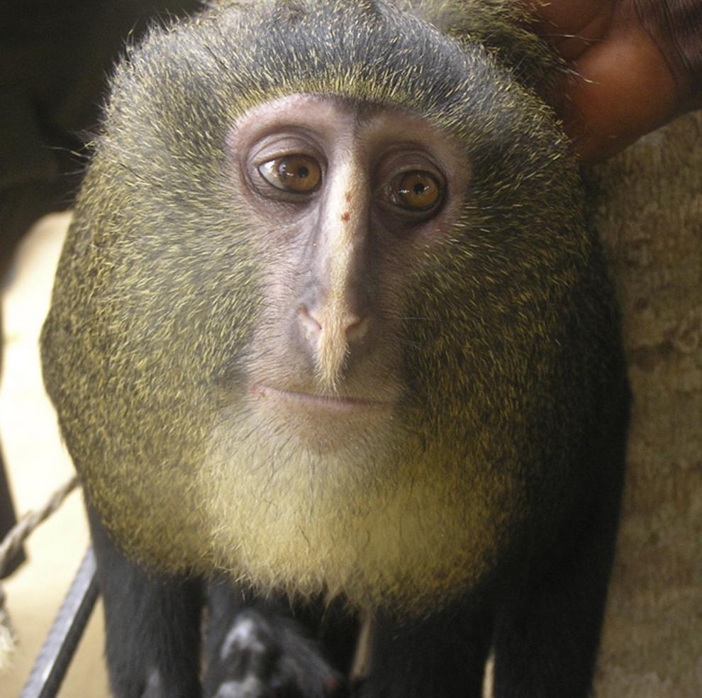 Знакомьтесь, Cercopithecus lomamiensis — неизвестный ранее вид обезьян (3 фото)