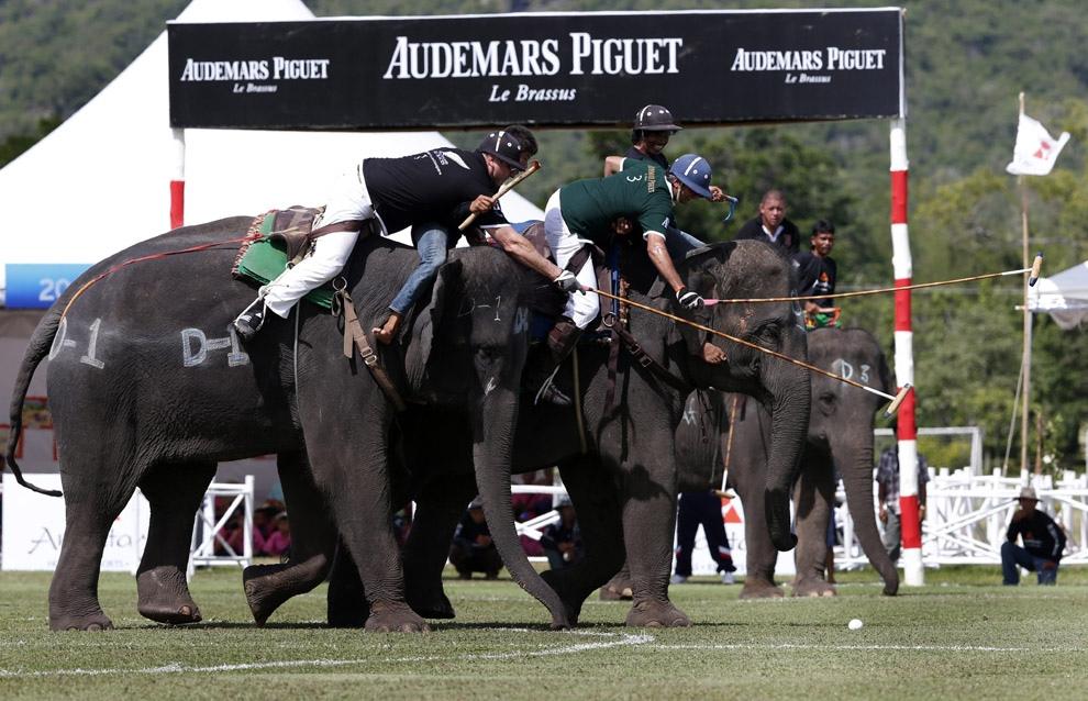Поло на слонах за Кубок Короля (17 фото)