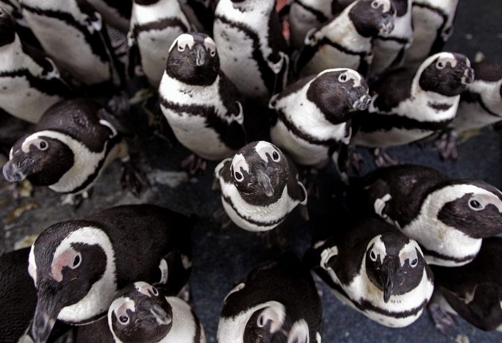 Спасение очковых пингвинов от нефти в Южной Африке. (AP Photo/Schalk Van Zuydam)