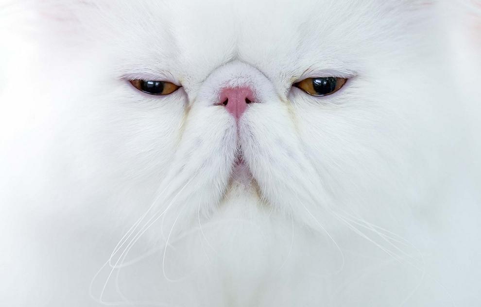 Персидский кот ждет решения судей на международном конкурсе кошачьей красоты Sofisticat 2012 в Бухаресте, Румыния. (AP Photo/Vadim Ghirda)