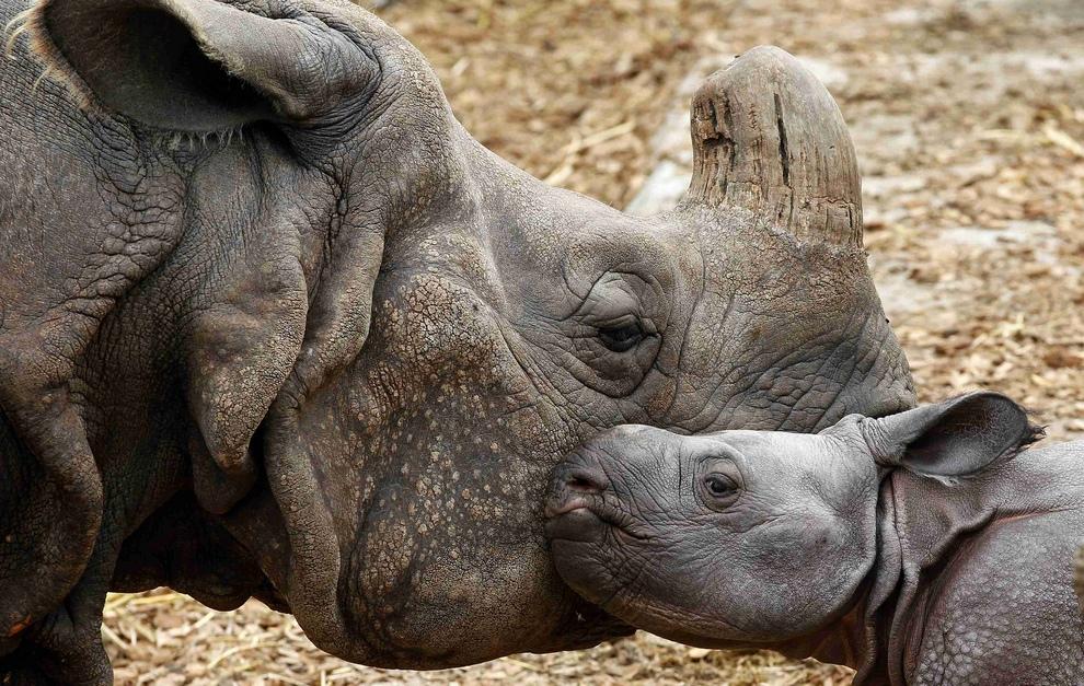 Одним индийским носорогом стало больше (6 фото)