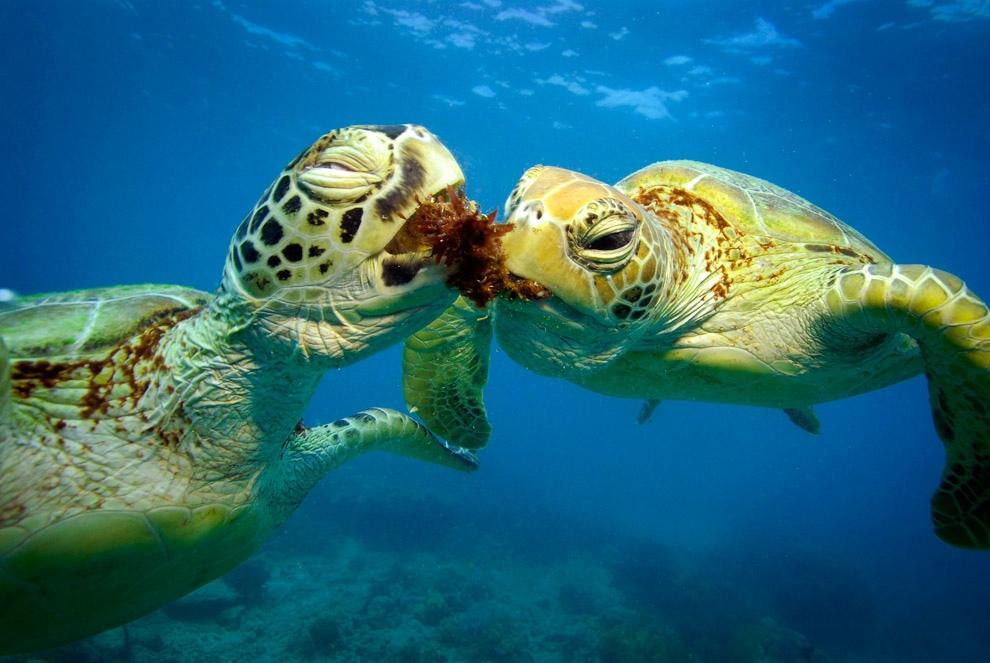Шелли и Кейси — зелёные черепахи (12 фото)