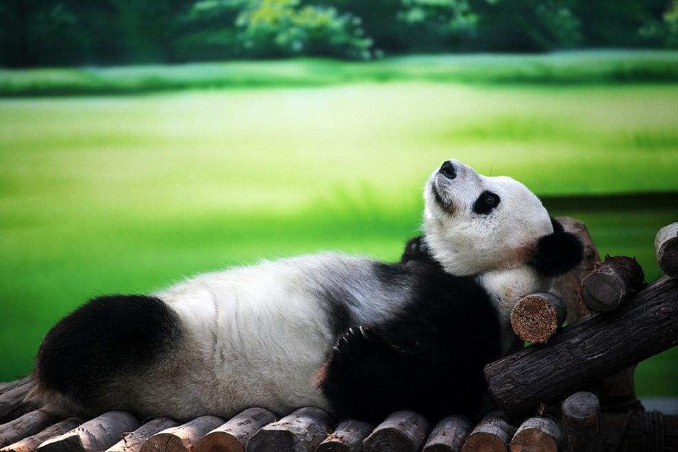 И пусть весь мир подождет: Как отдыхают панды в Китае (12 фото)
