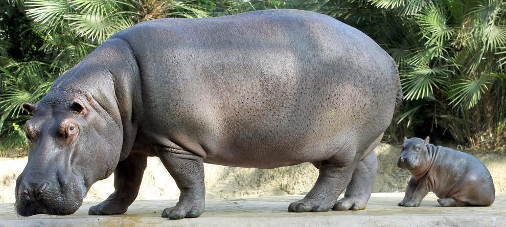 Фотографии животных - бегемот