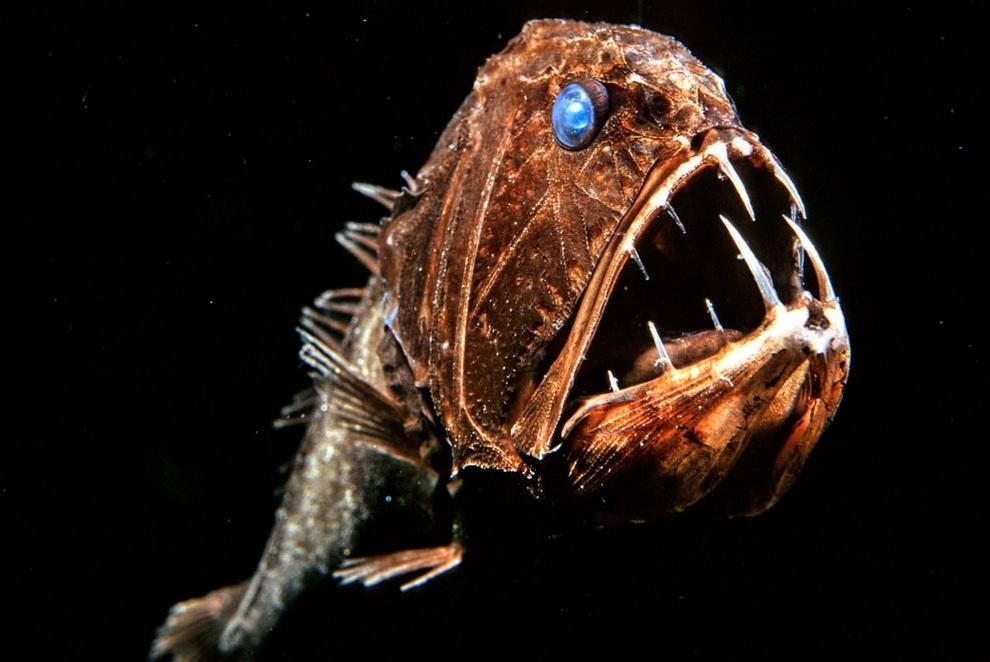 Длиннорогий саблезуб (англ. Fangtooth, лат. Anoplogaster cornuta). Уникальные кадры глубоководных созданий. (David Wrobel)