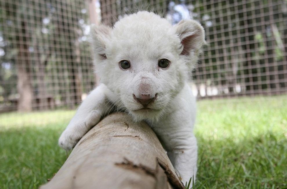 Мексиканский зоопарк показал редкого белого львёнка (4 фото)