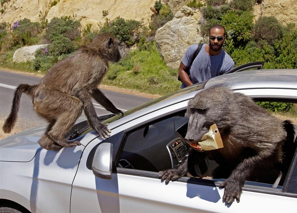 Рейд бабуинов на машину туристов, Кейптаун, Южная Африка. (AP Photo/Schalk Van Zuydam)