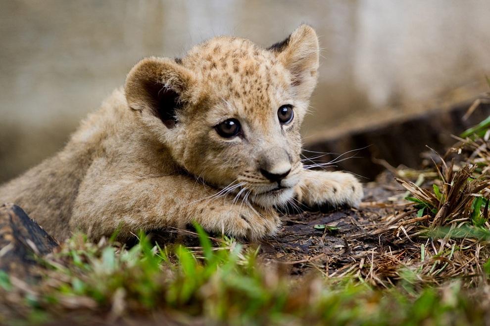 В зоопарке Кали презентовали львёнка (6 фото)