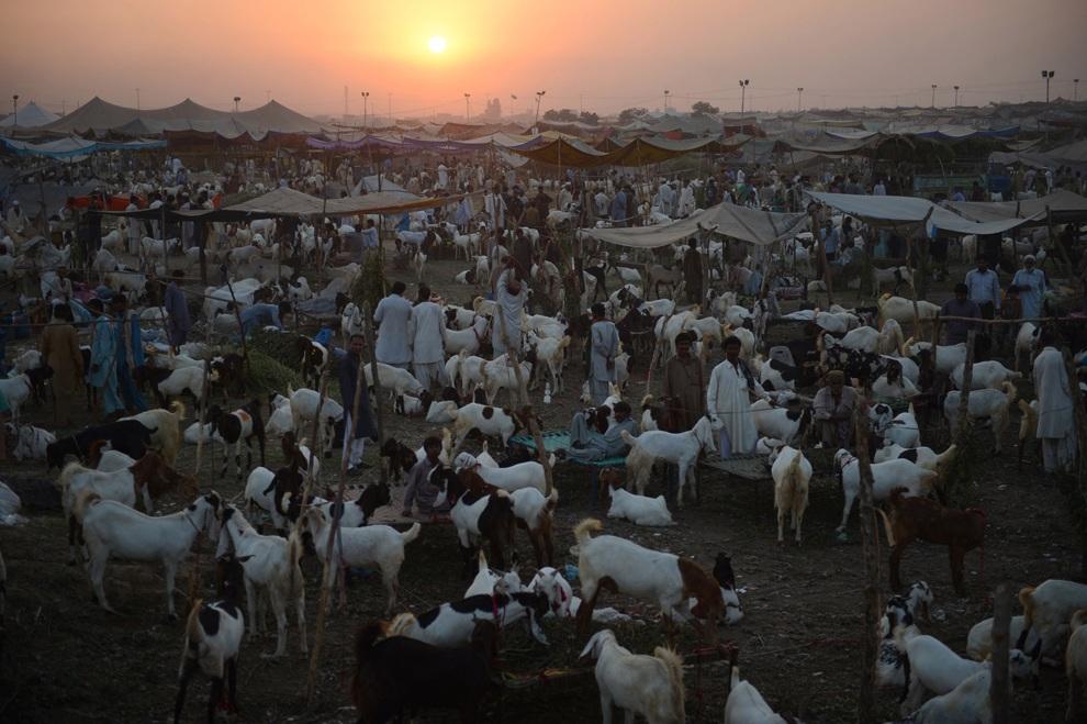 Продавцы ждут клиентов на рынке домашнего скота перед фестивалем жертвоприношения, Карачи, Пакистан. (Asif Hassan/AFP/Getty Images)