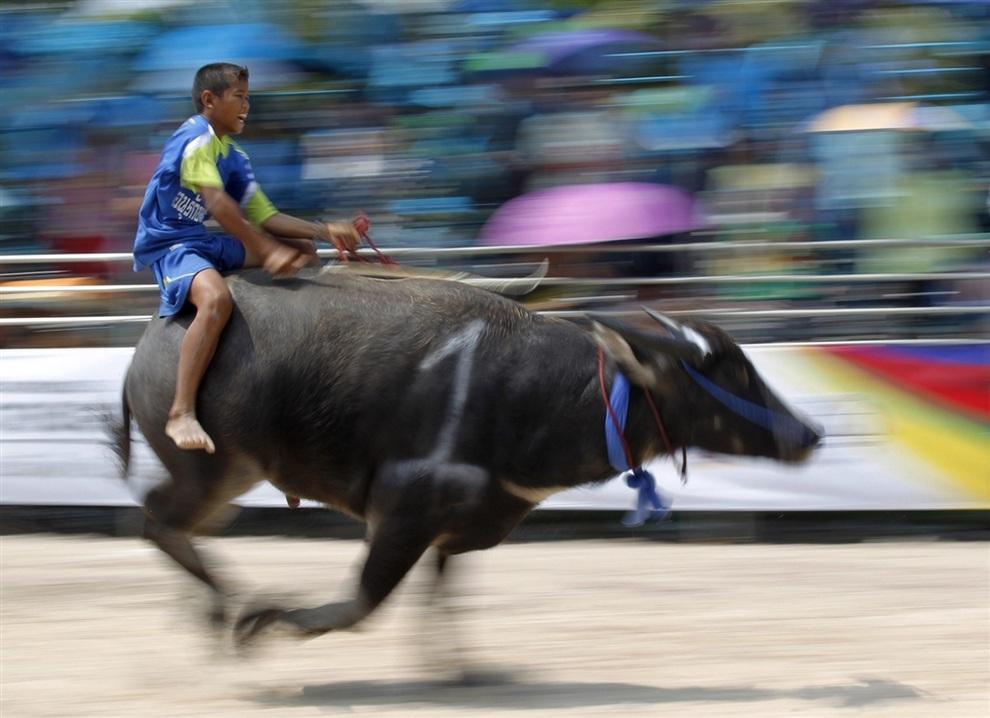 Мальчик-жокей мчит верхом на буйволе во время соревнований в провинции Чонбури, Таиланд. (EPA/RUNGROJ YONGRIT)